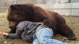 Download Why Doesn't Jimbo The 1,400-lb Bear Rip This Man To Shreds? Video