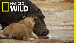 Download The Marsh Pride Encounter a Hippo | Savage Kingdom: Uprising Video