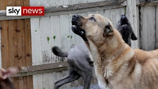 Download Special Report | How dangerous dogs are dealt with in the UK Video