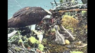 Download Lunch for Hog Island Ospreys. 12.08 / 21 June 2019 Video