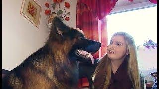 Download Der schönste Schäferhund der Welt kommt aus Armstedt bei Neumünster Video