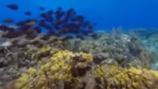 Download second largest Barrier Reef on Earth- Wild Caribbean - BBC Nature Video
