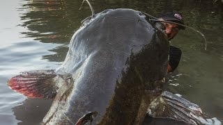 Download INCREDIBLE HUGE CATFISH 8,5 FEET - 250 LBS - HD by CATFISHING WORLD Video