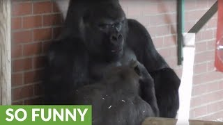 Download Gorilla makes faces at dad, then the unexpected happens Video