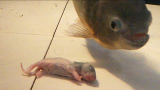 Download Would reggie my piranha like a rat for dinner? ( reggies fin is growing back) warning graphic Video