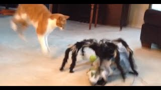 Download Jumping Spider vs Cat! Freakout! Video