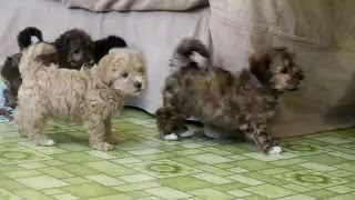 Download Havapoo Puppies For Sale Video