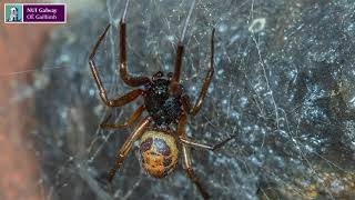 Download Noble False Widow Spider Feeds On Protected Native Irish Lizard Video