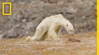 Download Heart-Wrenching Video: Starving Polar Bear on Iceless Land | National Geographic Video