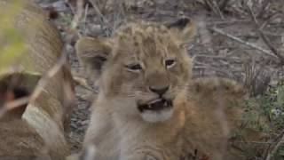 Download Yawns or Roars? Video