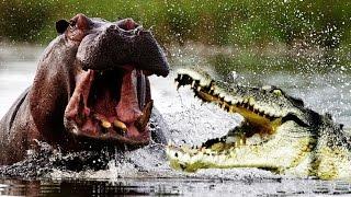 Download Hippo kills the giant crocodile Video