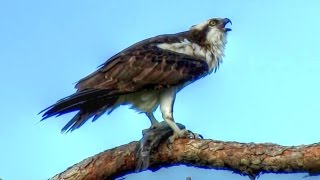 Download Osprey Calling - Loud and Long! Video