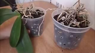 Download Реанимация орхидеи без листьев и точки роста Video