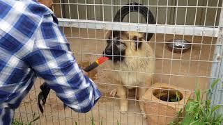 Download زياره الى صديق يربي كلاب القوقازي مع جمال العمواسي Video