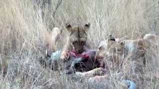 Download Lions feeding on a Warthog (not for sensitive viewers) Video