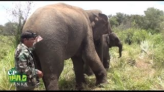 Download Injured Mother elephant ! Video