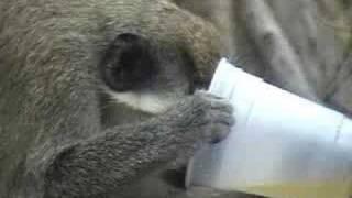 Download Drunk Monkeys at Turtle Beach Video
