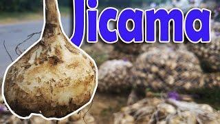 Download De donde viene la Jicama - San Rafael Oriente San Miguel El Salvador Video