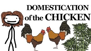 Download Why the Chicken Got Domesticated Video