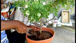 Download How to make bonsai with grow Aparajita plant ( with English subtitle ) Video