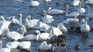 Download A Flock of Trumpeter Swans,At Swan Park Monticello Mn Video