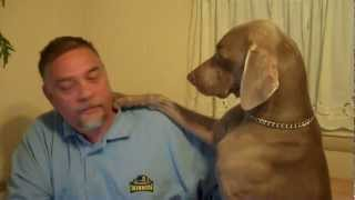 Download Don't Ignore a Weimaraner - Funny! Video