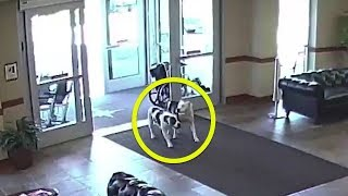 Download When These Escaped Pit Bulls Walked Into A Hospital, Onlookers Stood Frozen To The Spot Video
