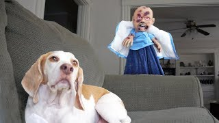 Download Funny Dogs vs Zombie Baby Prank: Maymo & Penny Video