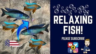 Download AFRICAN CICHLIDS SWIMMING Video