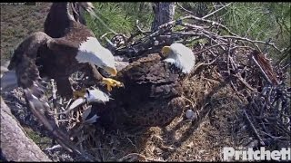Download SWFL Eagles ~ Fresh Fish; Dad Feeds E9 1 21 17 Video