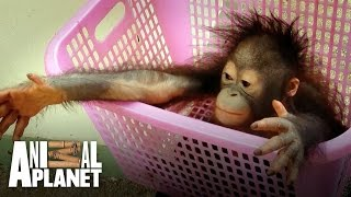 Download Meet the baby orangutan with a taste for crisps! Video