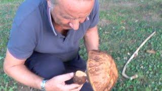 Download Porcini (da un kg!) in giardino. Video