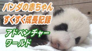 Download アドベンチャーワールドのパンダの赤ちゃん すくすく成長記録 和歌山 Video