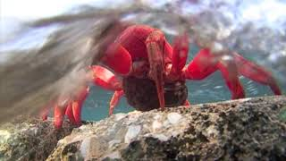 Download Red Crab egg release Video