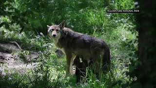 Download Illegal killings endanger two wolves species Video