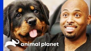 Download Dr Ross Just Has To Take Home An Adorable Rottweiler Pup! | The Vet Life Video