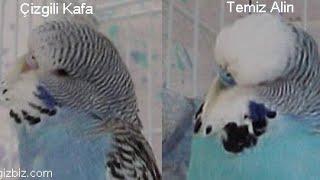 Download Muhabbet kuşunuzun yaşını öğrenin (yaş tahmini yapmayı öğreniyoruz) Video