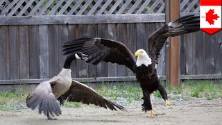 Download Bald eagle vs. Canada goose in the battle for North American supremacy Video