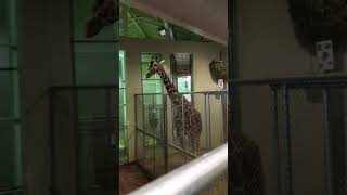Download Cheyenne Mtn Zoo Giraffes Coming into the Barn (from Inside Barn) Video