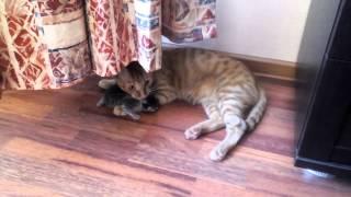 Download Кот ворует котят у кошки Video