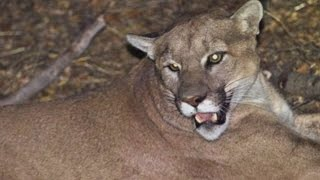 Download Rancher Wants To Shoot The Mountain Lion Who Killed Her 10 Alpacas Video