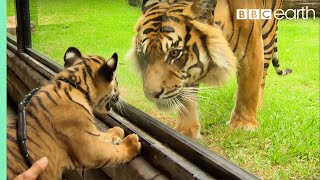 Download Cubs Meet Adult Tiger For The First Time - Tigers About The House - BBC Video