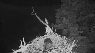 Download Audubon Osprey Nest Cam 06-18-2018 01:00:52 - 02:00:53 Video