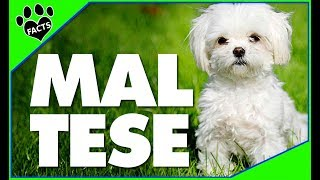 Download Dogs 101: Maltese Most Popular Dog Breeds - Animal Facts Video