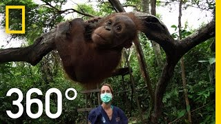 Download 360° Orangutan School | National Geographic Video