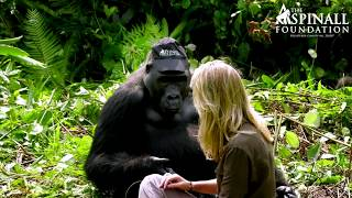Download Heart-warming moment Damian Aspinall's wife Victoria is accepted by wild gorillas OFFICIAL VIDEO Video