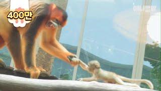 Download 아빠에게 황금원숭이 애기를 맡기면 안되는 이유.gif Video