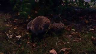 Download Hedgehog Street: Mum and her hoglets part 2 Video
