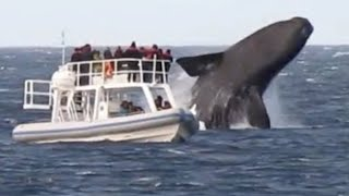 Download Huge Whales Swimming and Jumping Close To Boat Video