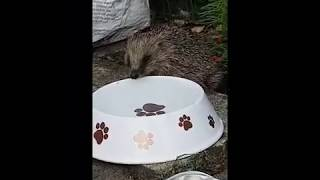 Download Hedgehog Street: Hot Weather = very thirsty hoglet Video